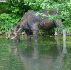 Moose visit our ponds